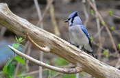 Blue Jay - Cobbs Hill (RBA Field Trip) - © Dick Horsey - May 03, 2017