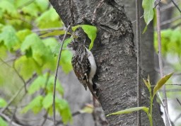 Brown Creeper - Cobbs Hill (RBA Field Trip) - © Candace Giles - May 03, 2017
