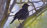 Red-winged Blackbird (F) - Lakeview Community Church Trail - © Dick Horsey - May 03, 2017