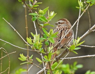 Song Sparrow - Irondequoit - © Candace Giles - May 04, 2017