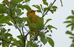 Yellow Warbler - Irondequoit - © Candace Giles - May 04, 2017