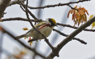 Chestnut-sided Warbler - Cobbs Hill - © Dick Horsey - May 11, 2017