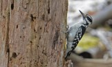 Hairy Woodpecker - Cobbs Hill - © Dick Horsey - May 11, 2017