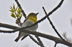 Yellow-throated Vireo - Powder Mill Park (RBA field trip) - © Dick Horsey - May 13, 2017