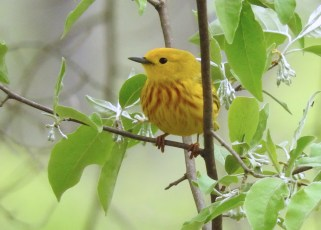 Yellow Warbler - Irondequoit - © Eunice Thein - May 13, 2017