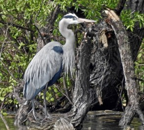 Great Blue Heron - Webster - © Candace Giles - May 14, 2017