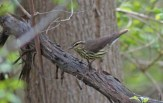Northern Waterthrush - Lakeview Church Trail - © Kimberly Sucy - May 17, 2017