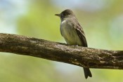 Eastern Wood-Pewee - Cobbs Hill - © Dick Horsey - May 18, 2017