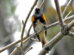 American Redstart - Abraham Lincoln Park - © Candace Giles - May 19, 2017