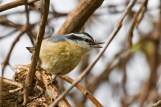Red-breasted Nuthatch - Braddock Bay West Spit - © Glen Miller - May 19, 2017