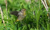 Palm Warbler - Manitou Beach Preserve (RBA field trip) - © Dick Horsey - May 20, 2017