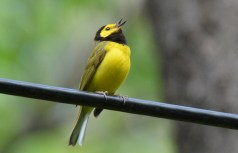 Hooded Warbler - Cobbs Hill - © Dick Horsey - May 22, 2017