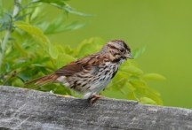 Song Sparrow - Kings Bend Park - © Dick Horsey - May 23, 2017