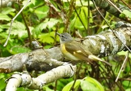 American Redstart (F) - Abraham Lincoln Park - © Eunice Thein - May 24, 2017