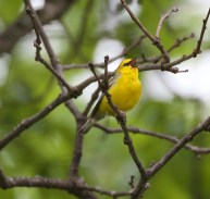 Blue-winged Warbler - Island Cottage Woods - © Shawn Cappiello - May 30, 2017