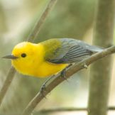 Prothonotary Warbler nest building from spider silk (© L Kammermeier)
