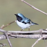 Black-throated-Blue-Warbler-THUMB_300 Sherony