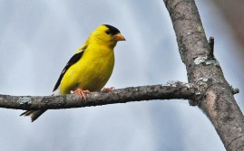 American Goldfinch - Whiting Rd Nature Preserve - © Dick Horsey - Aug 04, 2015