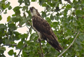 Osprey - Hamlin Beach Park - © Jim Adams - Sep 01, 2015