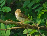 Field Sparrow (Juv) - Oatka Creek Park - © Jim Adams - Sep 02, 2015