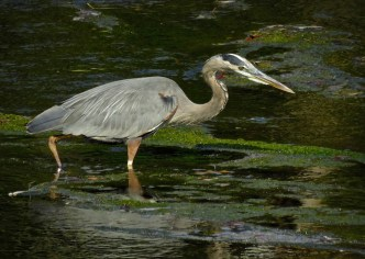 Great Blue Heron - Oatka Creek Park - © Jim Adams - Sep 06, 2015