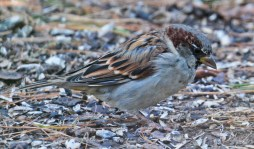 House Sparrow - Brighton - © Dick Horsey - Sep 16, 2015