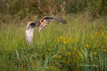 Northern Harrier - Montezuma NWR (Muckrace) - © Paul English - Sep 19, 2015