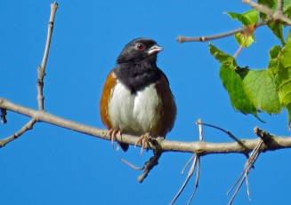 Eastern Towhee - Oatka Creek Park - © Jim Adams - Sep 22, 2015