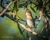 Savannah Sparrow - Branchport - © Paul English - Sep 23, 2015