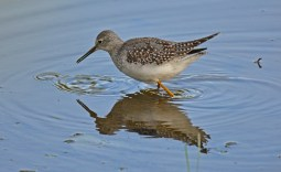 Lesser Yellowlegs - Montezuma NWR (RBA Field Trip) - © Dick Horsey - Sep 26, 2015