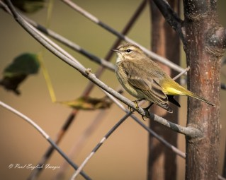Palm Warbler - Montezuma NWR (RBA Field Trip) - © Paul English - Sep 26, 2015
