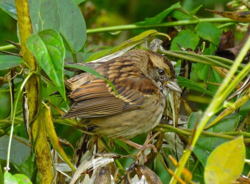 White-throated Sparrow - Oatka Creek Park - © Jim Adams - Sep 28, 2015