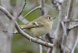 Ruby-crowned Kinglet - Beatty Point - © Dick Horsey - Oct 01, 2015