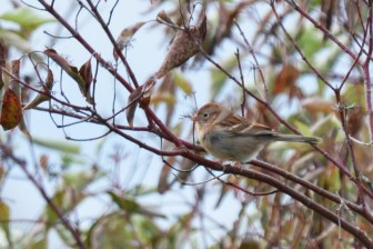 Field Sparrow - Burger Park - © Dick Horsey - Oct 01, 2015