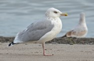 Herring Gull - Hamlin Beach Park - © Dick Horsey - Oct 05, 2015