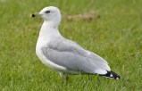 Ring-billed Gull - Hamlin Beach Park - © Dick Horsey - Oct 05, 2015
