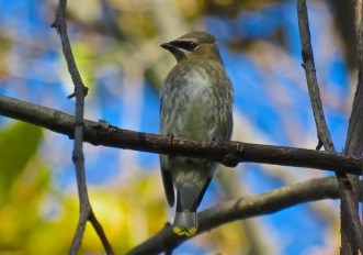 Cedar Waxwing (Juv) - Oatka Creek Park - © Jim Adams - Oct 08, 2015