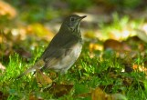 Gray-cheeked Thrush - Oatka Creek Park - © Jim Adams - Oct 08, 2015