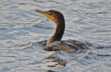 Double-crested Cormorant - Irondequoit Bay Outlet - © Dick Horsey - Oct 10, 2015