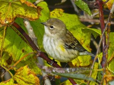Yellow-rumped Warbler - Oatka Creek Park - © Jim Adams - Oct 10, 2015