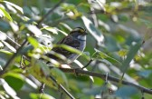 White-throated Sparrow - Mendon Ponds Park - © Dick Horsey - Oct 11, 2015