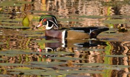 Wood Duck - Tinker Nature Park - © Dick Horsey - Oct 11, 2015