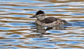 Ruddy Duck - Batavia WTP - © Dick Horsey - Oct 17, 2015