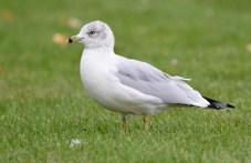 Ring-billed Gull - Hamlin Beach Park (RBA Field Trip) - © Dick Horsey - Oct 18, 2015