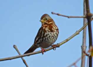 Fox Sparrow - Oatka Creek Park - © Jim Adams - Oct 18, 2015