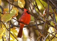 Northern Cardinal - Corbett's Glen Nature Park - © Dick Horsey - Oct 26, 2015
