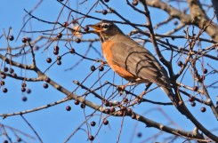 American Robin - Black Creek Park - © Dick Horsey - Nov 09, 2015