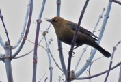 Rusty Blackbird - Oatka Creek Park - © Jim Adams - Nov 10, 2015