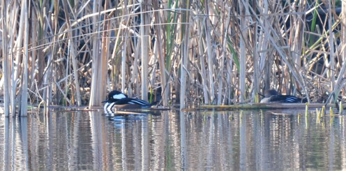 Hooded Merganser - Durand Eastman Pk (RBA Field Trip) - © Dick Horsey - Nov 15, 2015