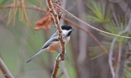 Black-capped Chickadee - Hamlin Beach Pk - © Dick Horsey - Nov 27, 2015
